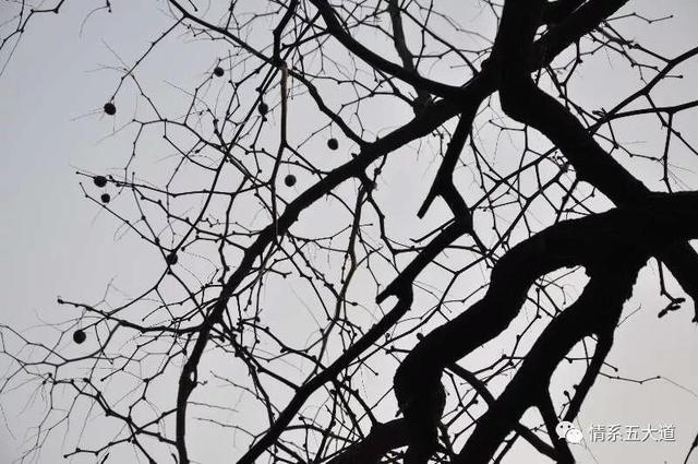枣树图片,五大道上的大枣树
