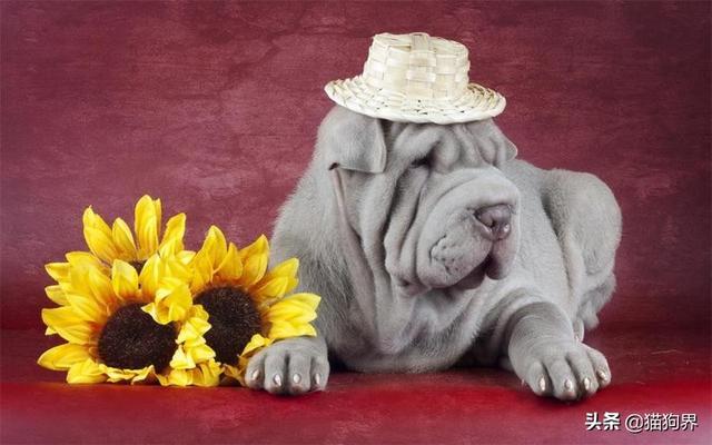 沙皮狗图片,沙皮狗的养护法则:这三点必须要做到#狗狗大明星#