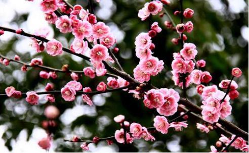 稀有品种,春暖花开梅花俏,十大珍品梅花你知道几种?