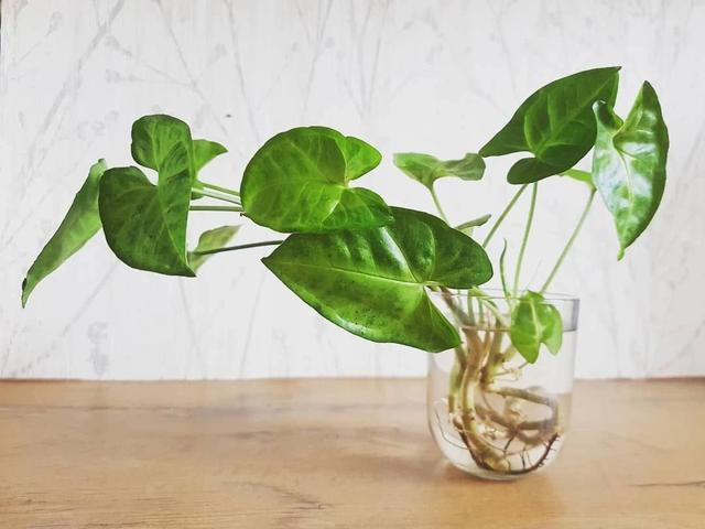 室内灯光下可养这9种盆栽绿植,部分可水培养护,很是耐阴