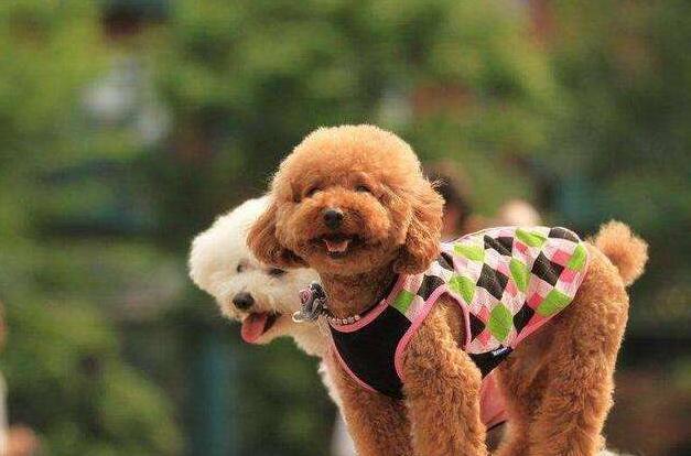 泰迪狗图片,人们最喜欢的狗狗——泰迪犬,优点这么多,怪不得宠主会上瘾