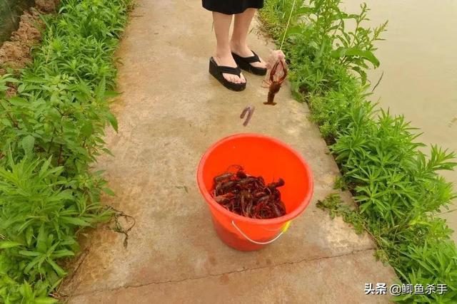 澳洲龙虾的吃法,龙虾王?澳洲淡水小龙虾最大能长1斤,小龙虾的地位不保?