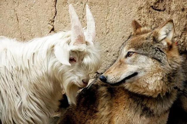 """经典!羊群和狼群的""""躺平""""寓言故事"""