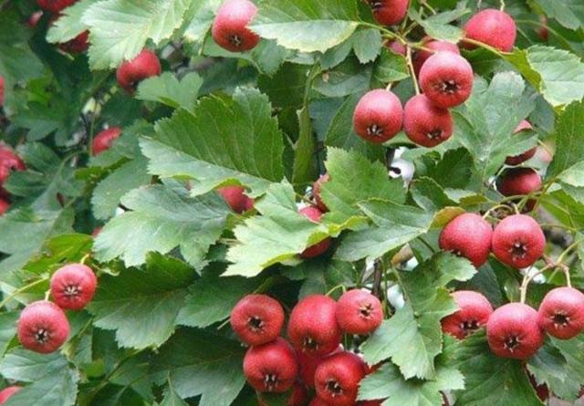 农村院子里,常栽5种果树,既能观赏,又能吃水果