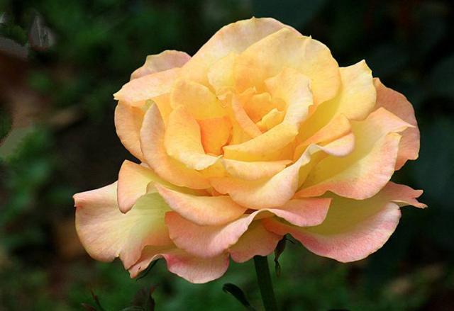 这10种花,是西方贵族的最爱,养了5种以上,都是有钱人
