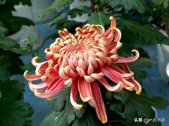 菊花 寓意,国画常见吉祥植物图解之六——菊花
