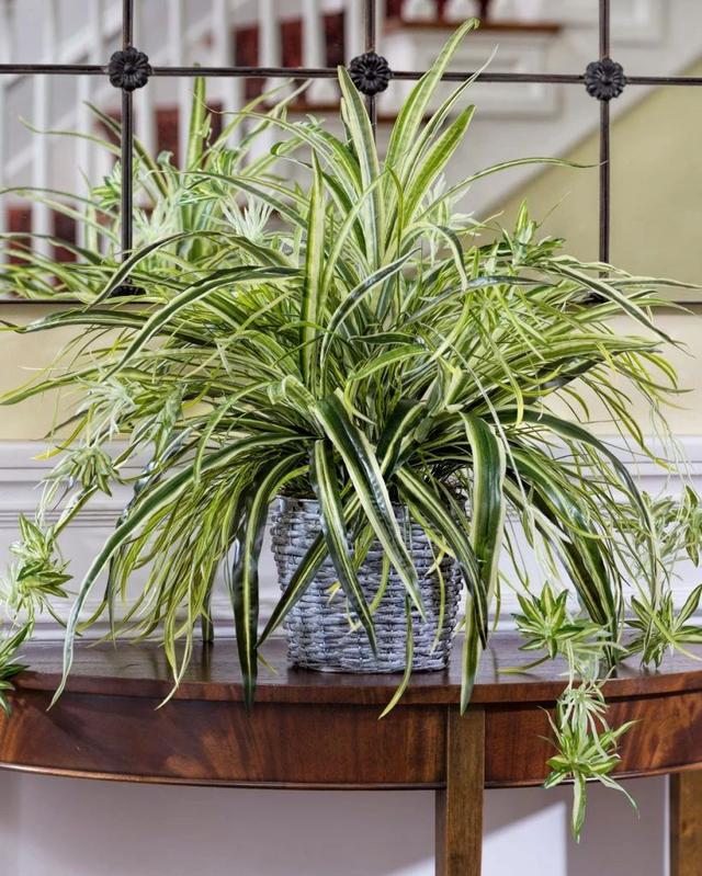 """种可以吸附室内灰尘和颗粒物的绿色观叶植物,可以多养几盆"""""""