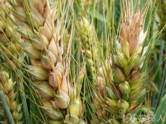 农药品种,今年小麦主要病虫害偏重发生 这些农药品种重点推荐