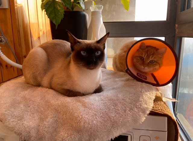 發現一隻斷尾橘貓,它渴望被愛,但又怕被傷害的樣子,太讓人心疼 家有萌寵 第9张