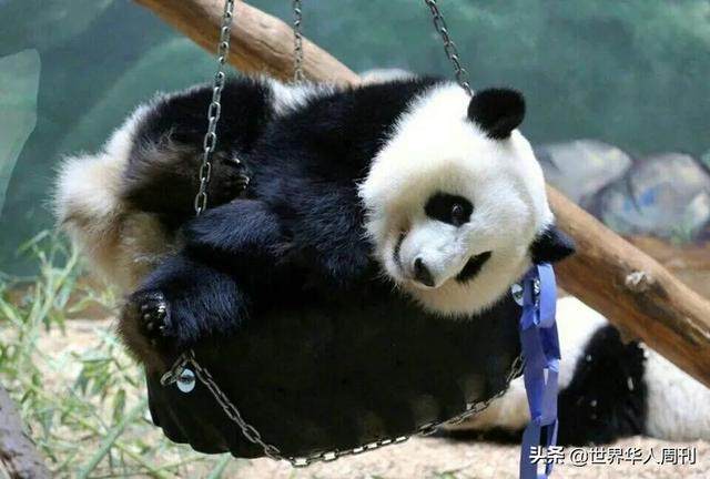 熊猫图片,在美大熊猫瘦骨嶙峋,疑遭虐待:无数中国人正盼着它们回家