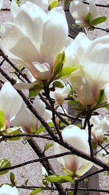 关于花的唯美句子,一树玉兰花开,洁白无瑕,优雅了春天,美醉了