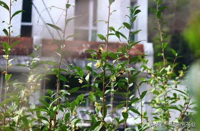 茶树品种,所有茶树都可以做任何品种茶么(绿茶,白茶,红茶,黄茶,乌龙)