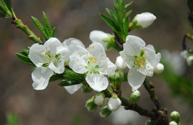 蜜的寓意,梨花代表寓意—栽培技术