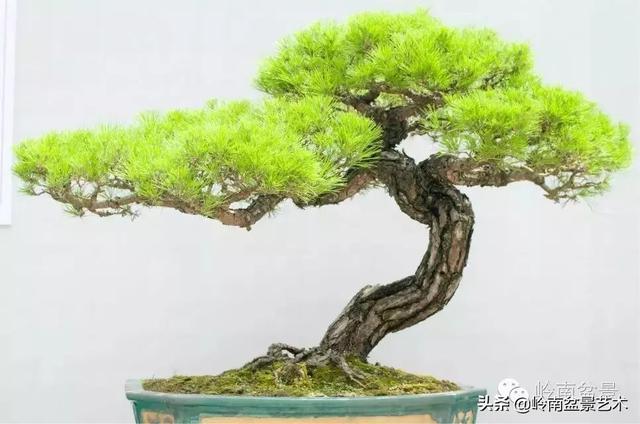柏树图片,百木之长话青松