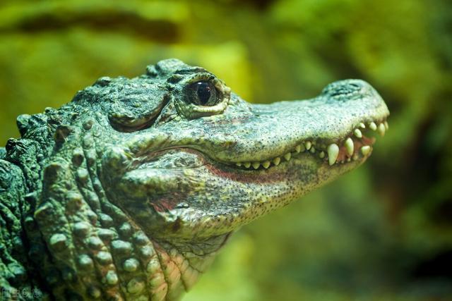 扬子鳄图片,一度不足100条,扬子鳄陷入濒危绝境,放生后为何九死一生?