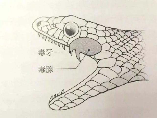 鬼医的宠物蛇:我国最毒的蛇是什么?真的不是眼镜王蛇,而是性情温和的银环蛇