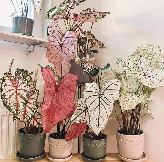 5种小众花,家里养一盆,屋里立马气量变高级 第4张图片