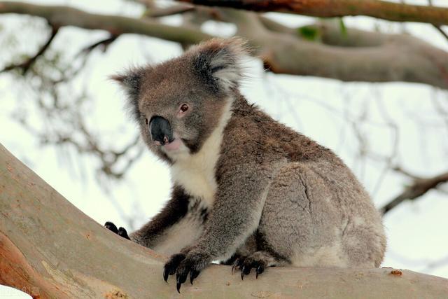 全球变暖澳洲遭殃!多地或因海平面上升被淹没 考拉更将灭绝