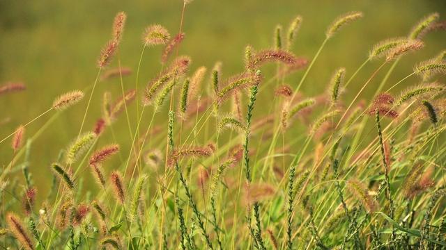 农村路边随处可见的野草,别嫌弃它,它有着活血止痛的功效