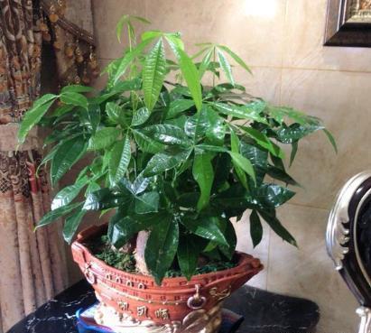 家庭养发财树的小技巧,做好了,枝叶油绿浓重,一盆养十年