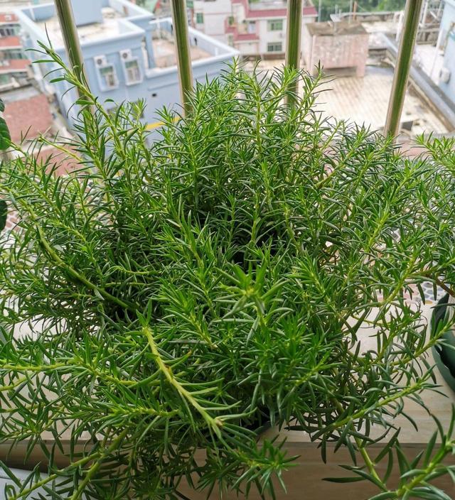 好烦哦:好烦哦,阳台上养的太阳花,枝条快长成藤子了就是不开花