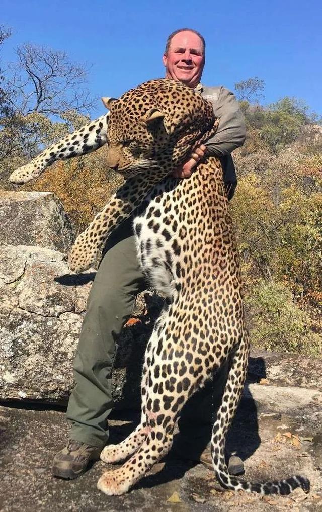 猎豹犬:居然一口气咬伤6只狗,金钱豹攻击力这么强,人遇到了怎么办?