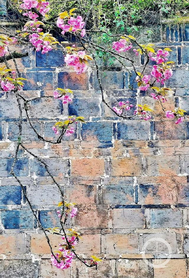 出墙:百年古樱红花出墙 千树樱花笑颜相迎