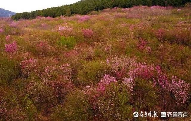 济南千佛山旅游路边,近百亩野生桃花灼灼盛放