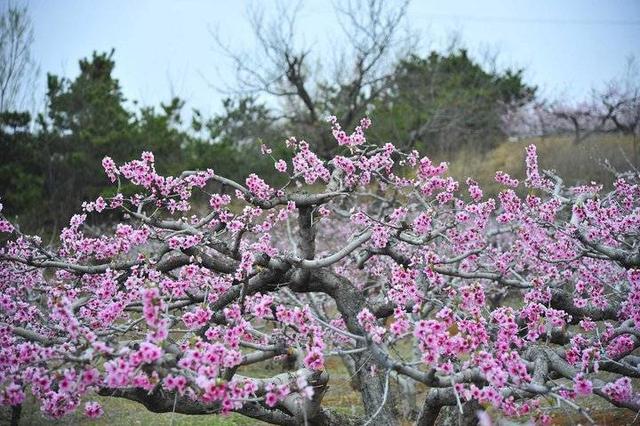 春天里,来五莲赴一场十里桃花的约会吧