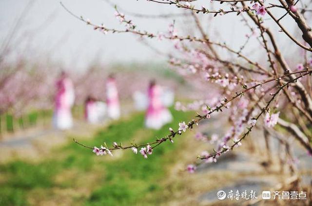 """博士硕士驻村""""开良方"""",乐陵孔镇580亩桃花飘香引客来……"""