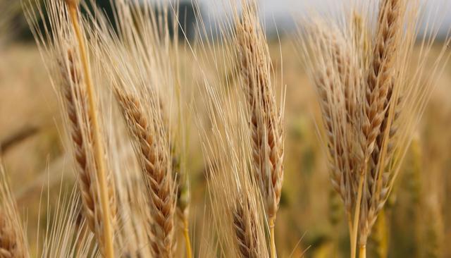 澳大利亚贸易再遭冷水,数千万斤小麦被扣,令人头皮发麻鼠患成灾