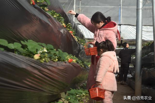 乡下小伙种植大棚草莓,无土种植有潜力,套栽大蒜能防病?