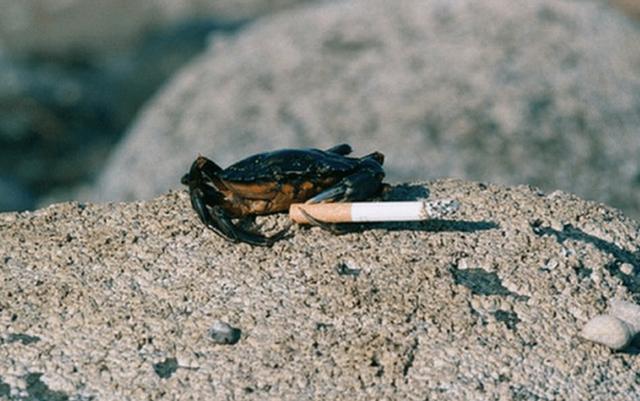 """澳洲海边烟头成灾,5千万螃蟹患""""烟瘾"""",环境污染如此严重?"""