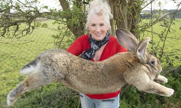 长达1.29米重达45斤,世界上最大的兔子在其英国家中被盗
