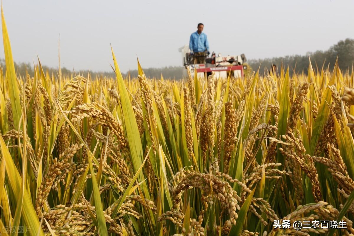 2021年水稻出价了!长粒1.36元/斤,圆粒?