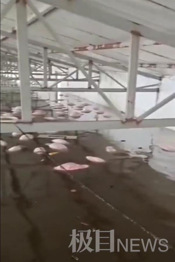 山西孝义一养殖场被淹,700多头猪漂浮水面,仅有1头活着