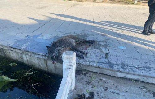 东港市内惊现野猪横冲直撞,巡特警果断出手一枪击毙
