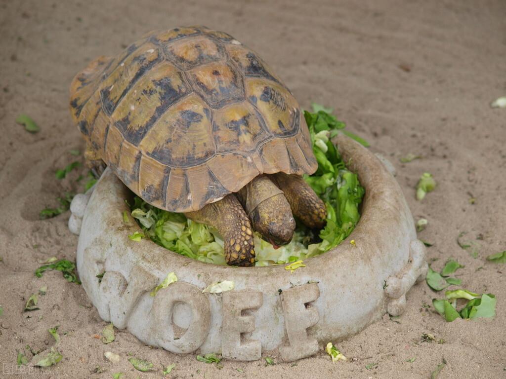 小乌龟吃什么食物,对于这种肉素两食类动物,食物需要合理搭配