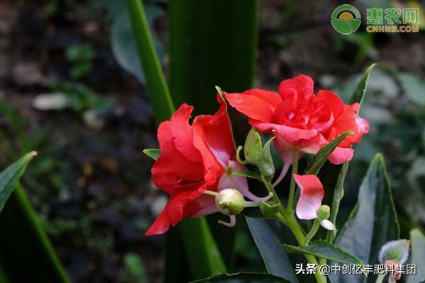 凤仙花靠什么传播种子的?过冬如何养护?