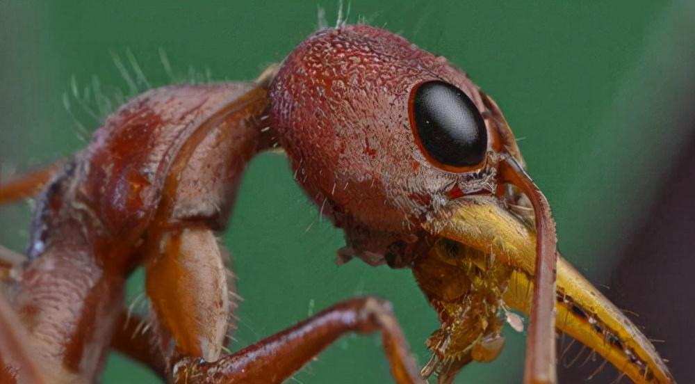 世界上最大的蚂蚁